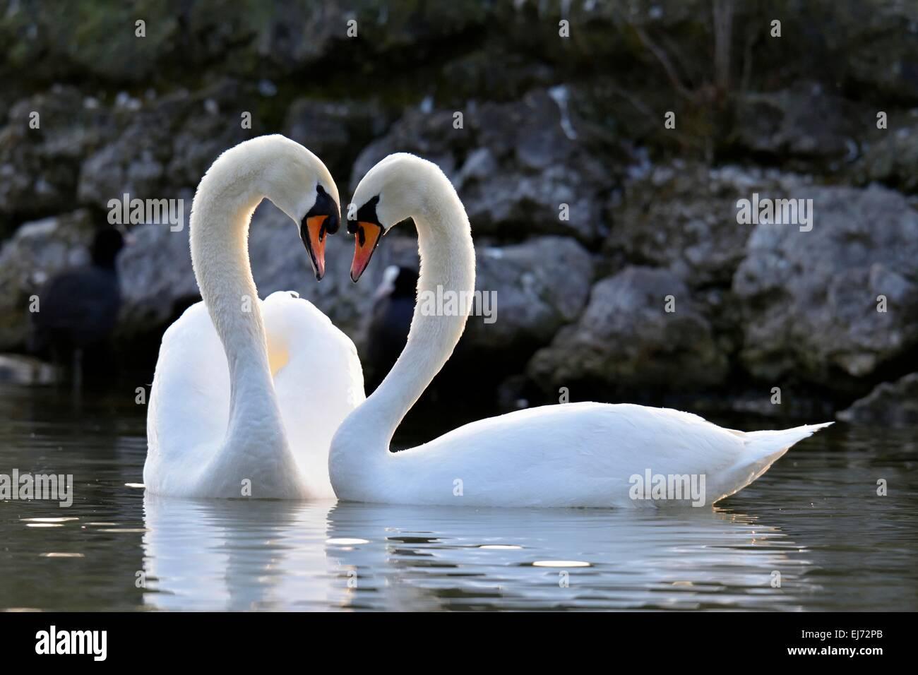 Mute swan (Cygnus olor) pair, courtship, Zug, Canton of Zug, Switzerland - Stock Image