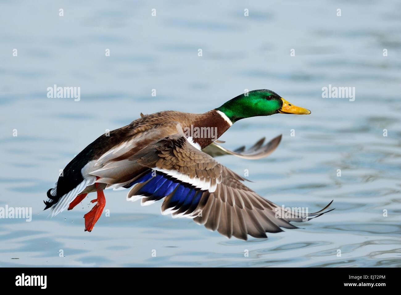 Mallard (Anas platyrhynchos) male in flight, Zugerseee, Switzerland - Stock Image