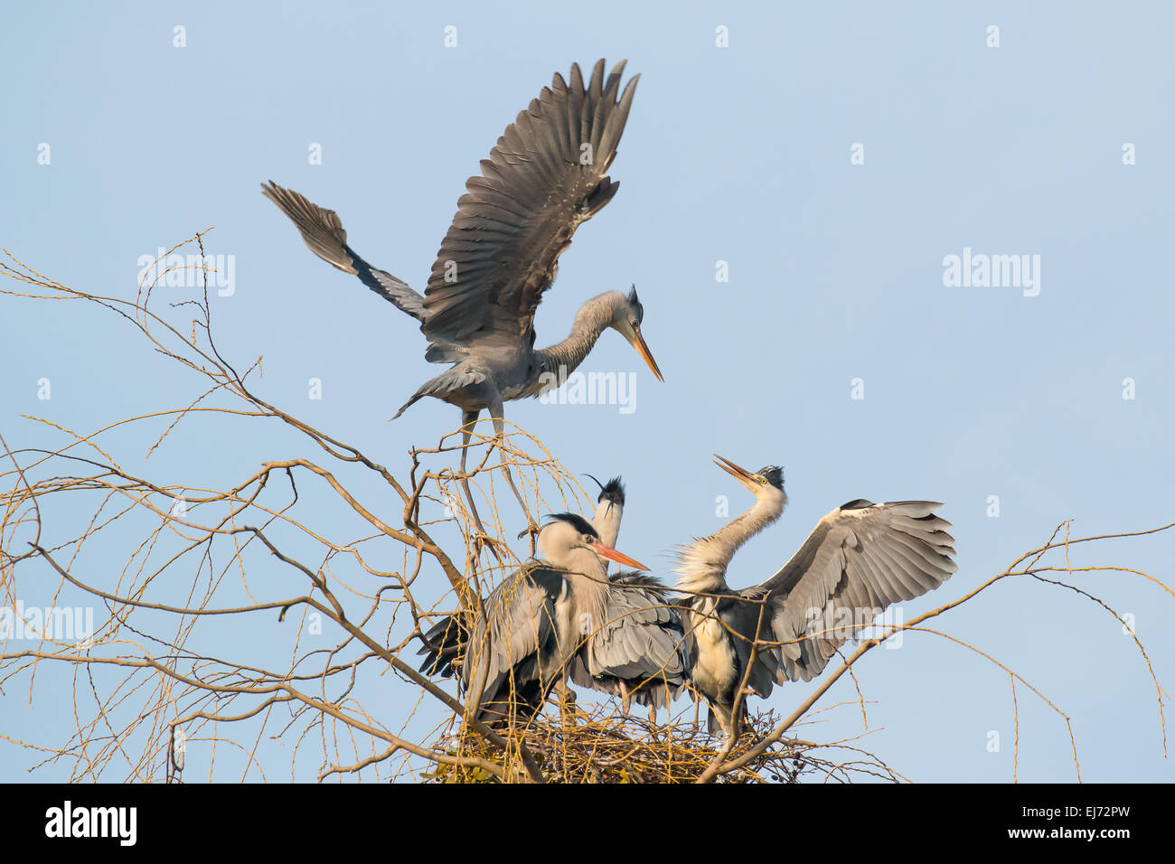 Two juvenile Grey Herons (Ardea cinerea) argue on the nest, Hesse, Germany - Stock Image