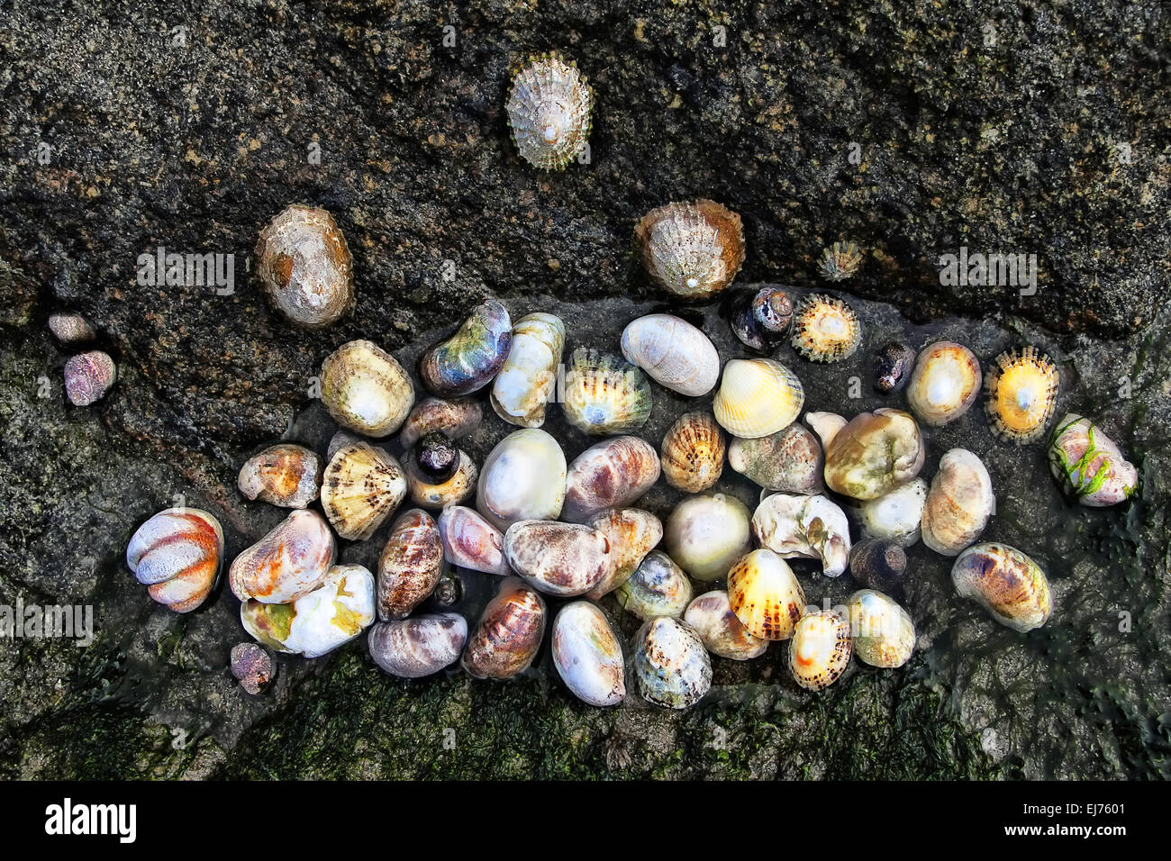 rock shell, Brittany, France - Stock Image