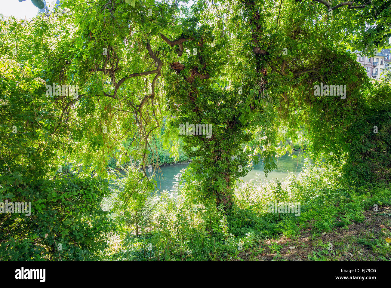Green vegetation at the water's edge of the Aar river Strasbourg Alsace France Europe - Stock Image