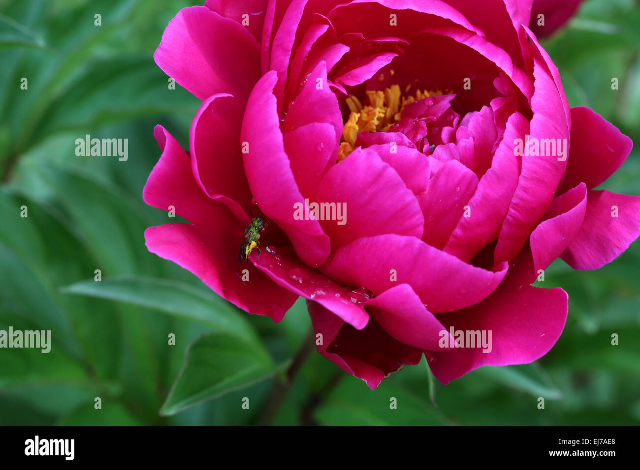 Bright Pink Peony Flower With Small Green Bug On A Petal Stock Photo