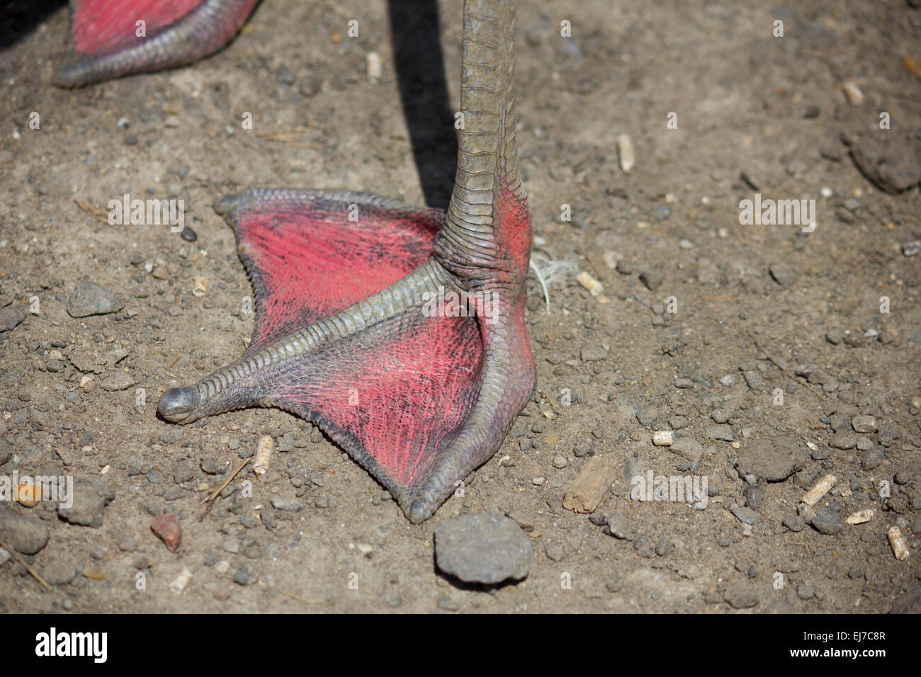 Pink Flamingo foot - Stock Image