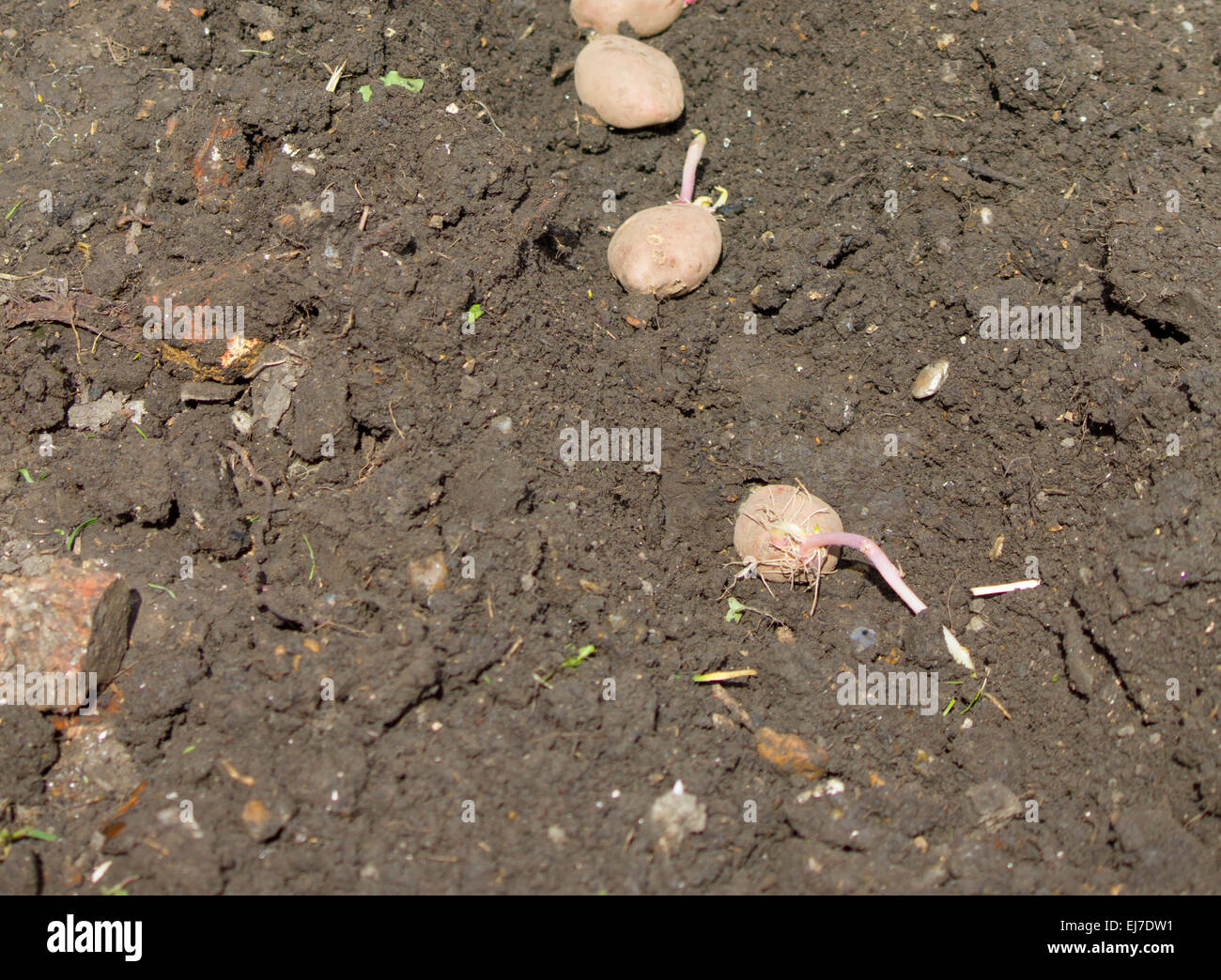 Row of seed potatoes in the ground ready for plantin - Stock Image