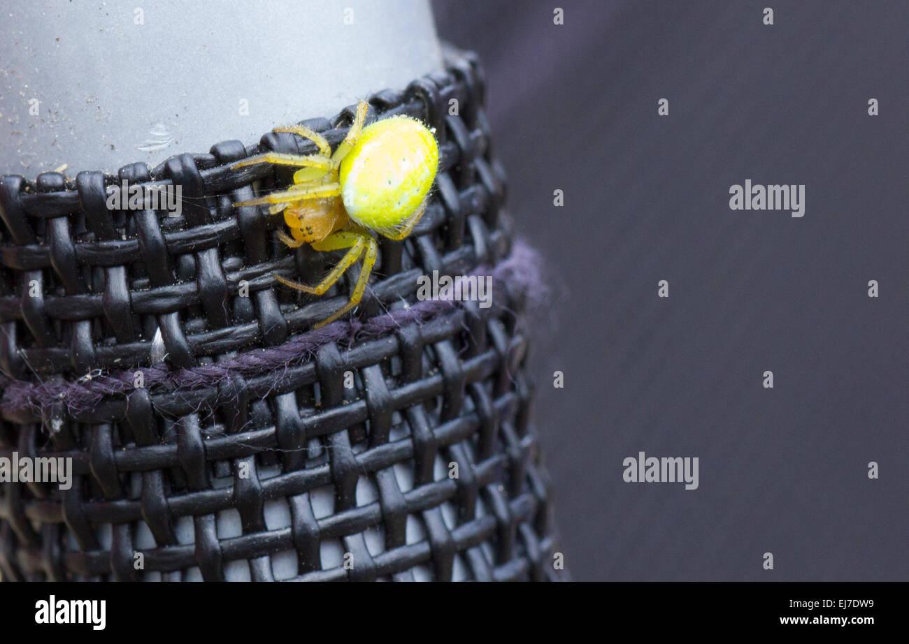 Green Orb - Weaver Spiders Araniella cucurbitina - Stock Image