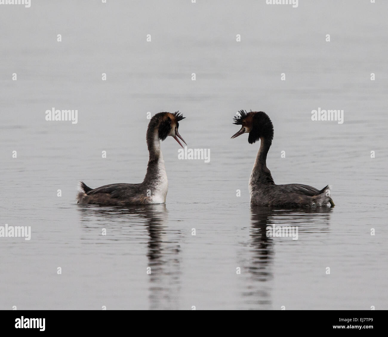 A pair of Great Crested Grebes participating in their courtship dance where they rear up with weed in their beaks - Stock Image