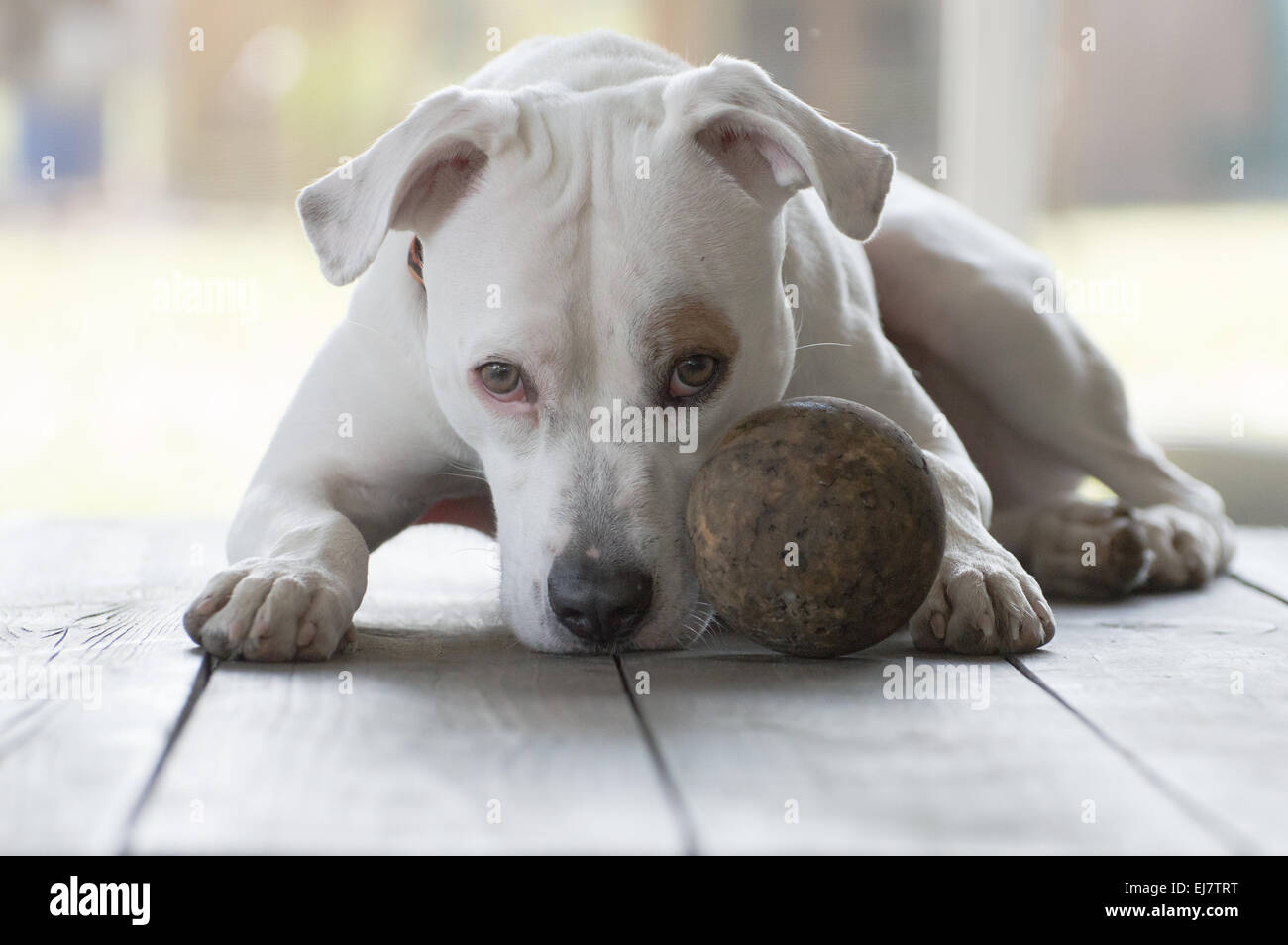 Family dog waiting for someone to play ball with her. In the meantime she waits patiently. - Stock Image