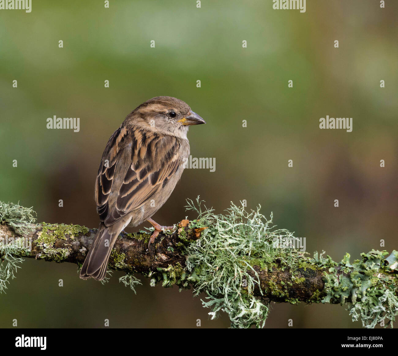 House Sparrow (Passer domesticus), female, perched on branch, Dorset, England, UK. - Stock Image