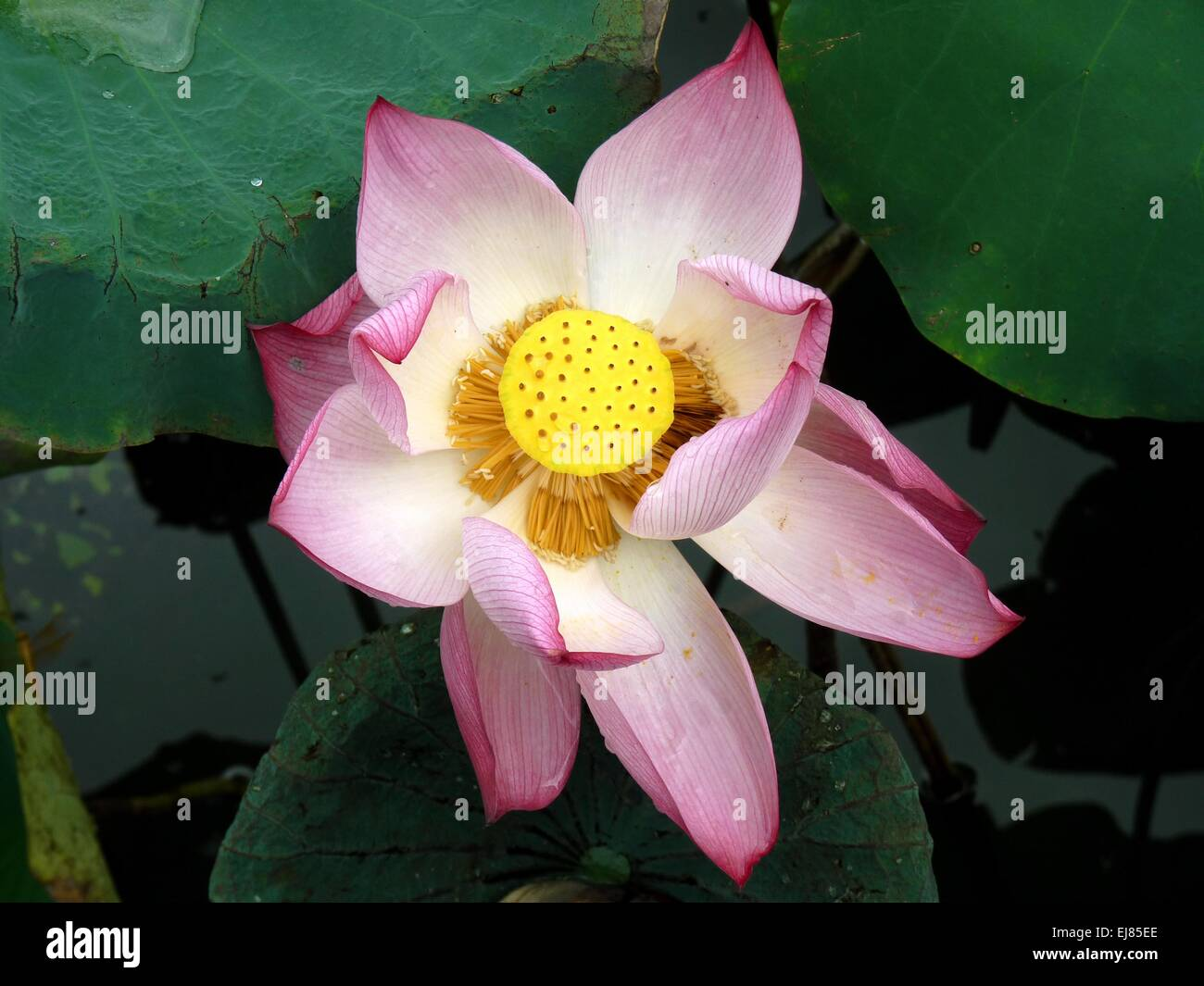 Opened Lotus Stock Photos Opened Lotus Stock Images Alamy