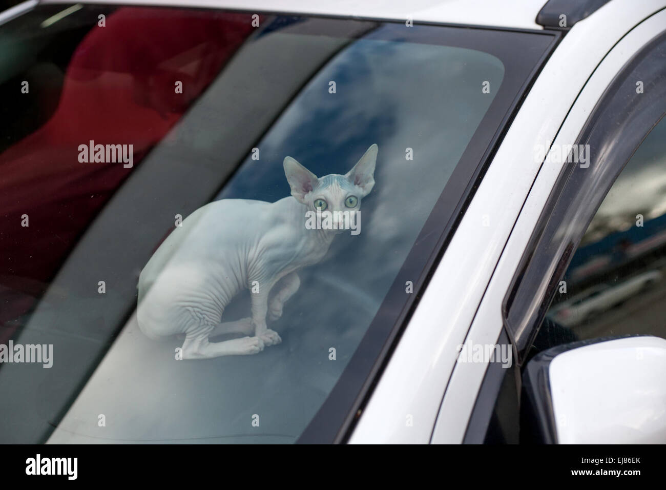 Sphinx cat inside a car looking at camera - Stock Image
