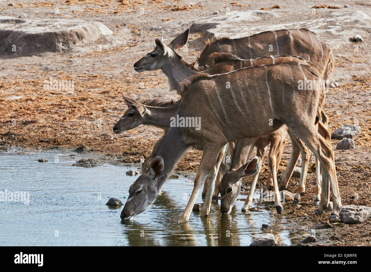 A herd of greater Kudu drinking at a waterhole in Etosha National Park - Stock Image