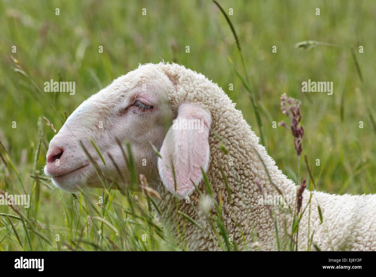 Young Merino Sheep portrait - Stock Image