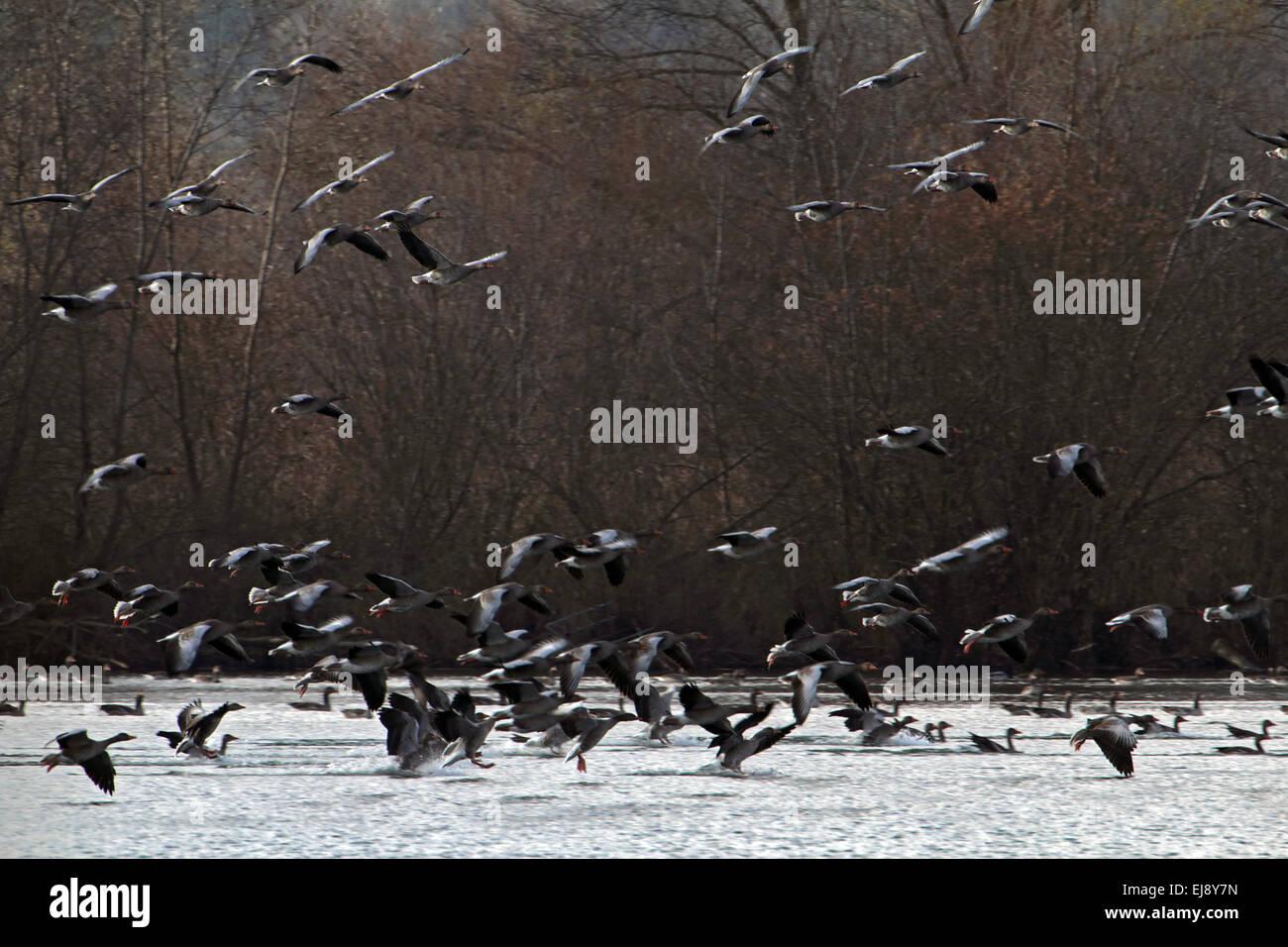 Grey-lag Geese, Anser anser, Bavaria, Germany Stock Photo