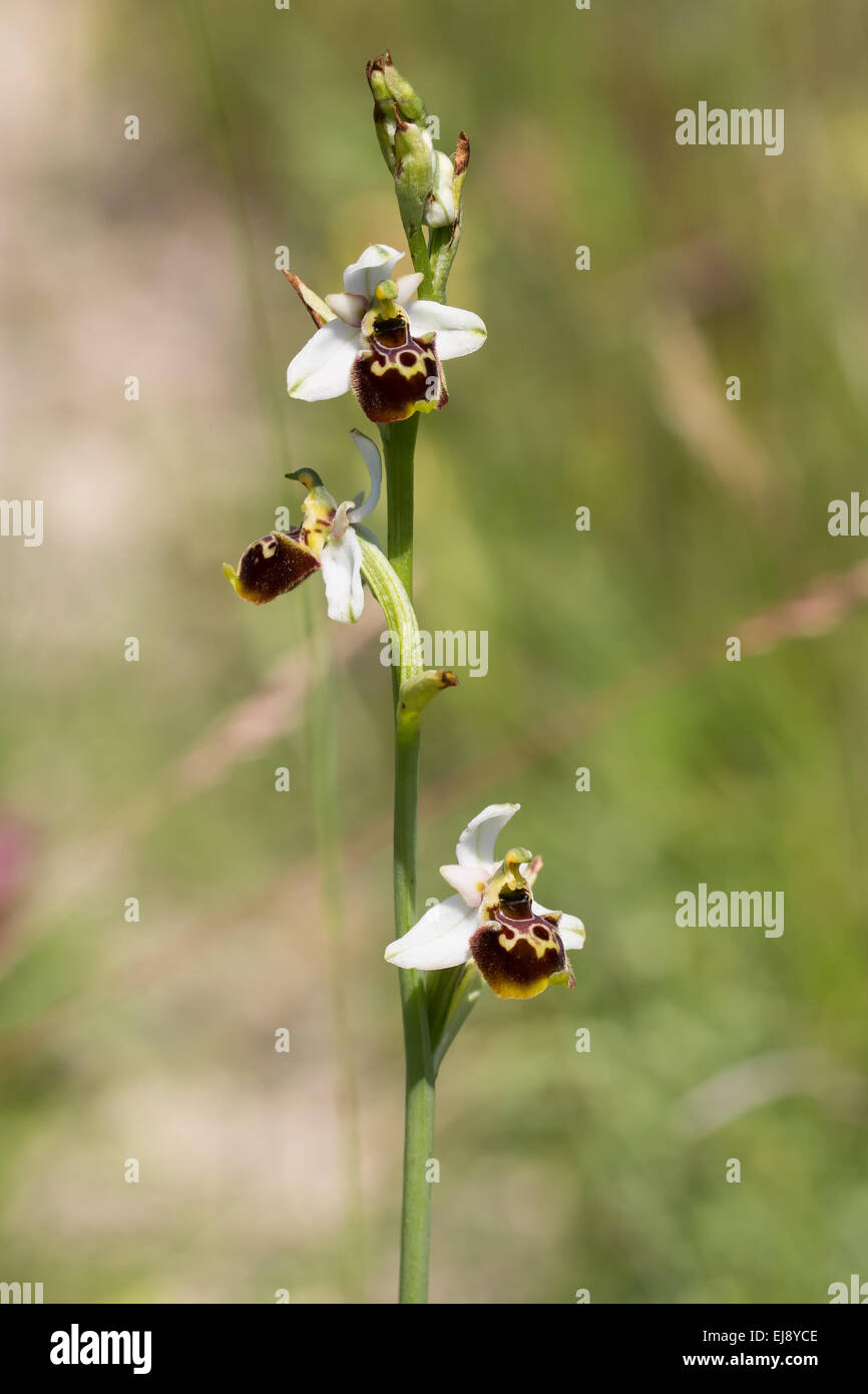 laze spider orchid - Stock Image