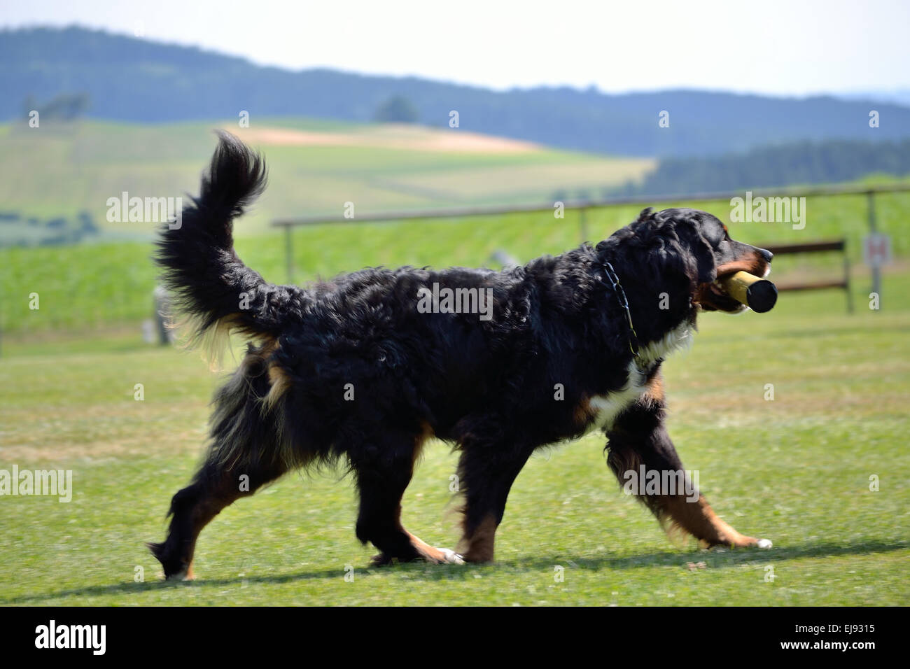 Bernese Mountain Dog retrieves object - Stock Image