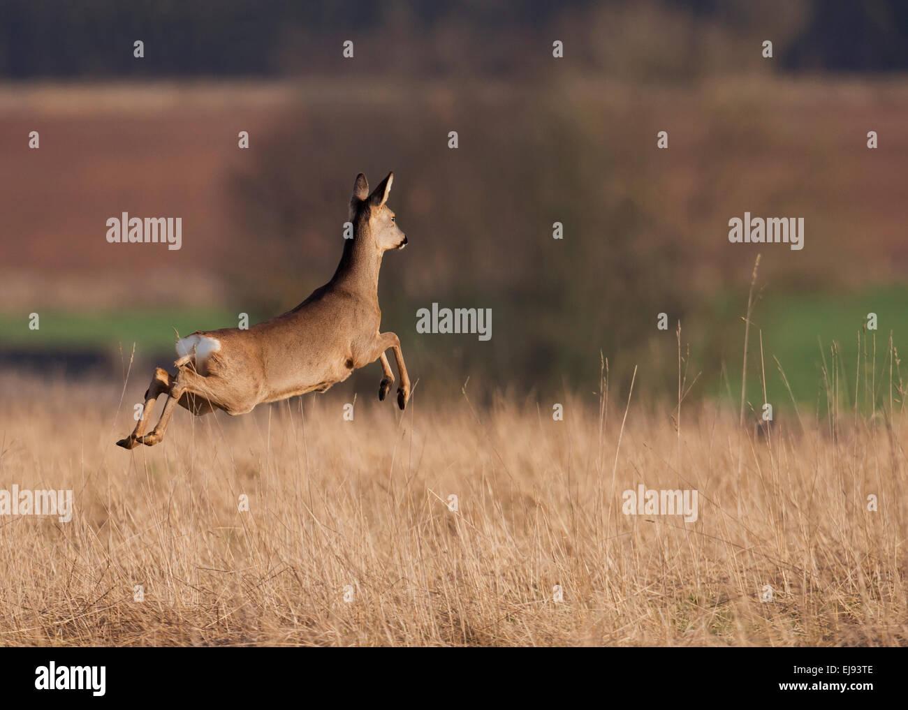 Roe Deer (Capreolus capreolus) doe leaping in a Cotswold meadow - Stock Image