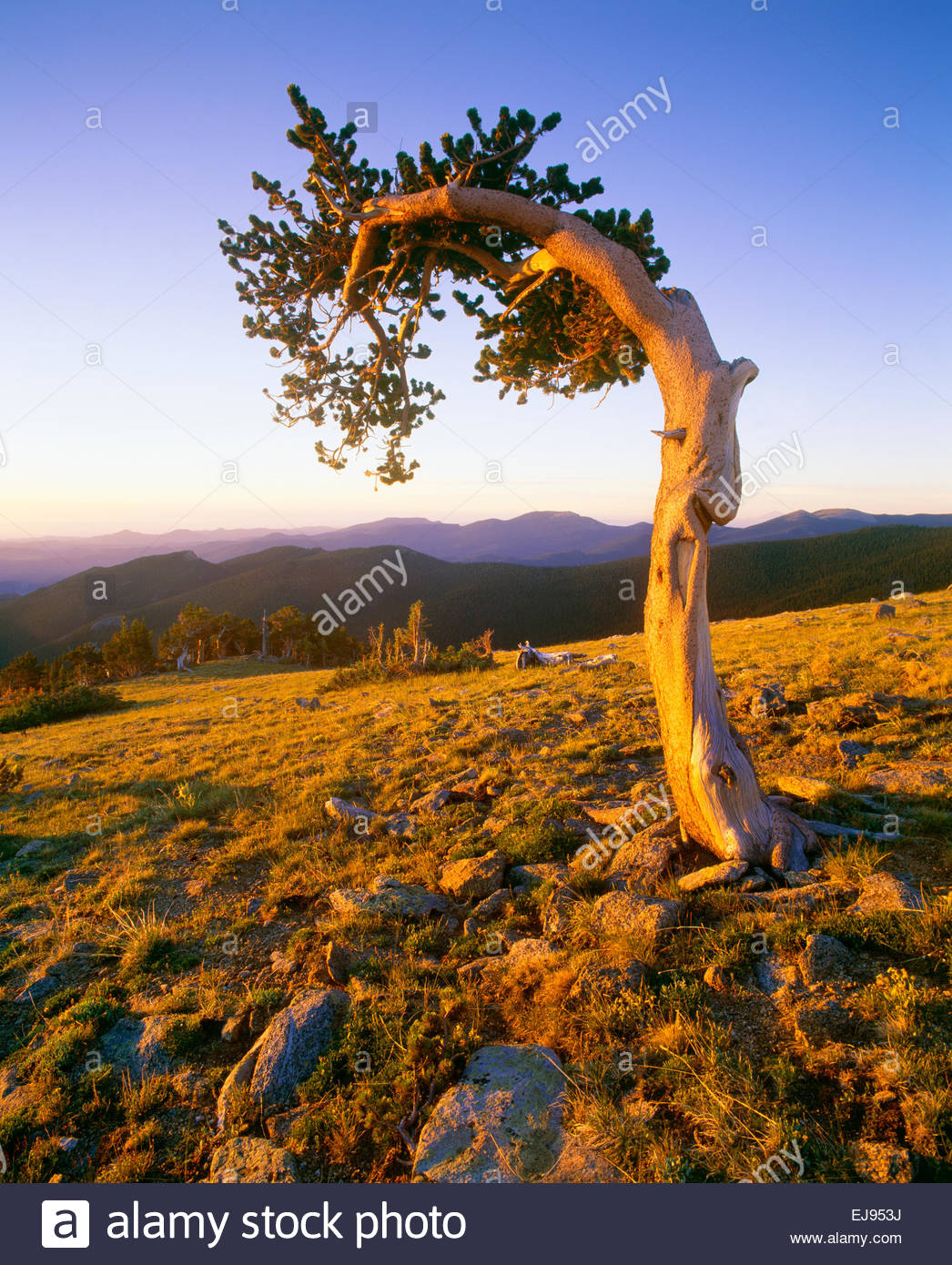 Ancient bristlecone pine on slope of Mt. Evans at Mt. Goliath Natural Area.  Arapaho National Forest, Colorado. Stock Photo