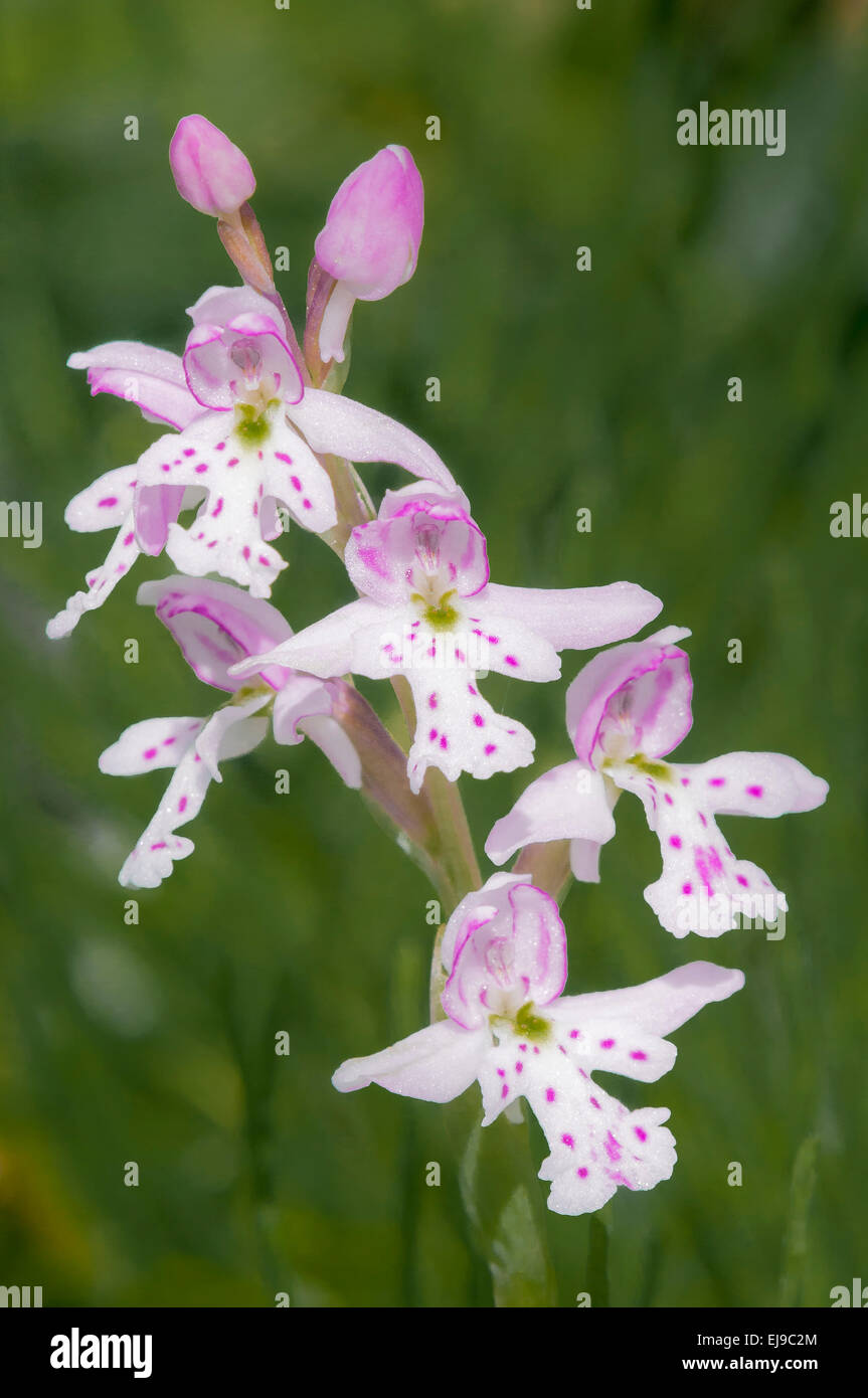 Round leaved orchid (Orchis rotundifolia), Bow Valley Provincial Park, Alberta, Canada - Stock Image