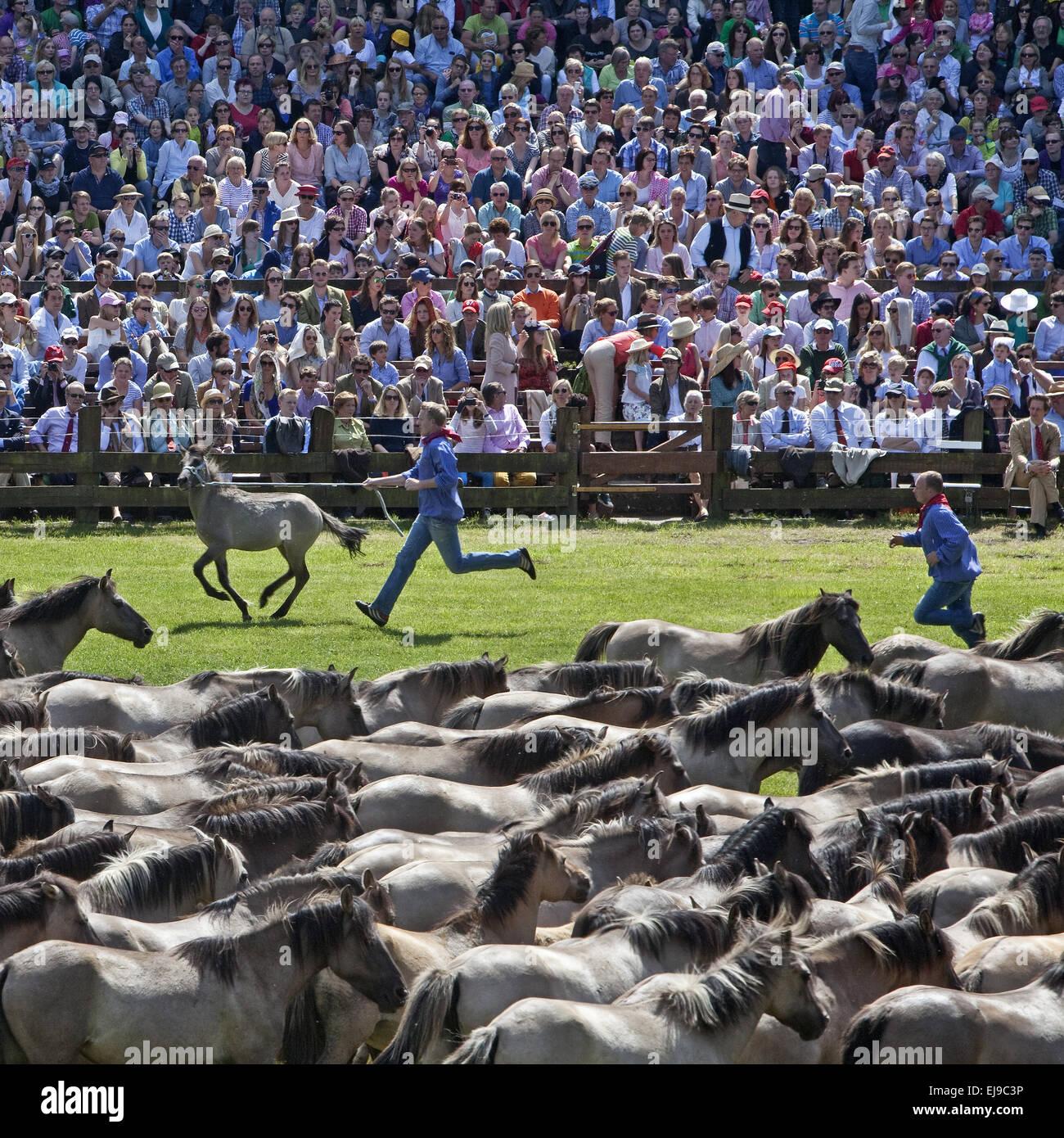 Wild horses catch, Duelmen, Germany - Stock Image