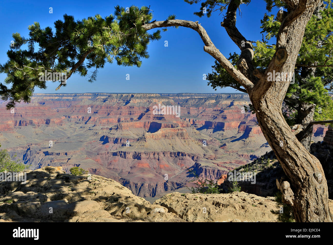 Tree and canyon rock formations from South Kaibab Trailhead, Grand Canyon National Park, Arizona USA Stock Photo
