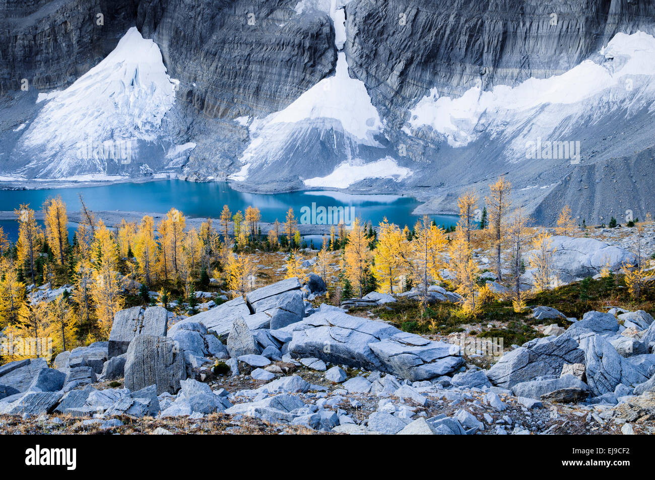 Larch in vibrant yellow Autumn color, the Rockwall at Floe Lake, Kootenay National Park, British Columbia, Canada - Stock Image