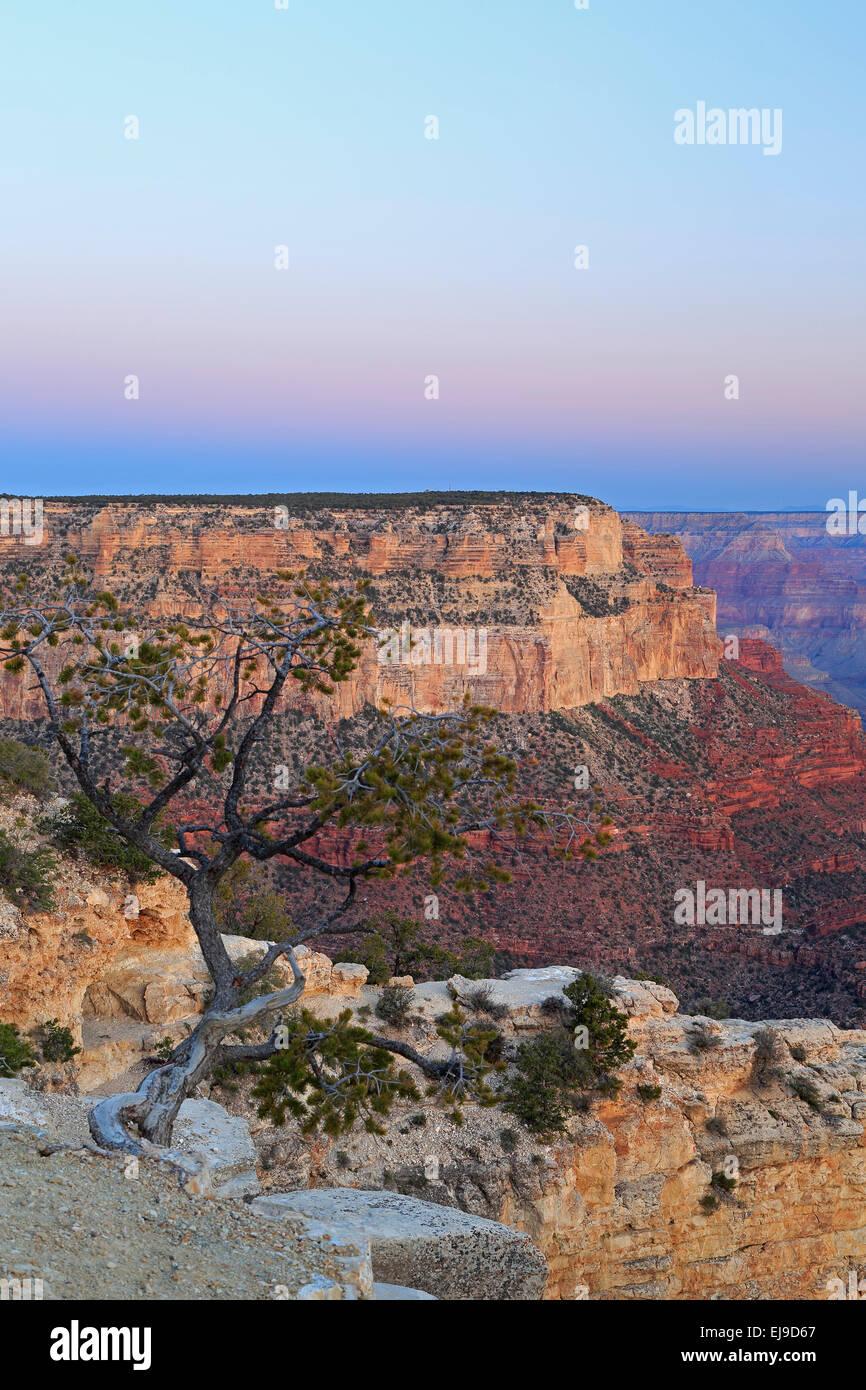 Tree and canyon rock formations from Yavapai Point, Grand Canyon National Park, Arizona USA - Stock Image