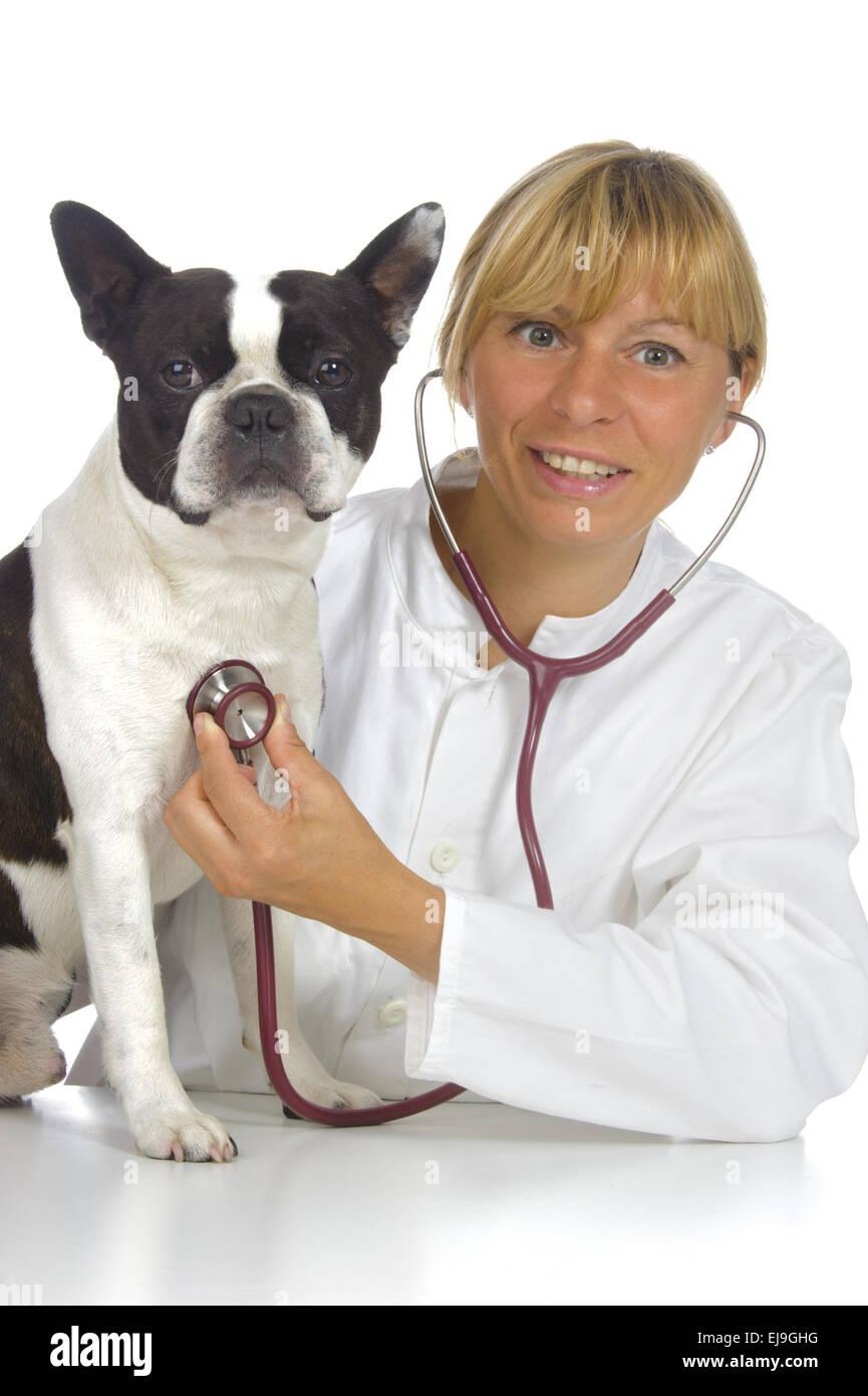 female vet doctor with boston terrier dog - Stock Image