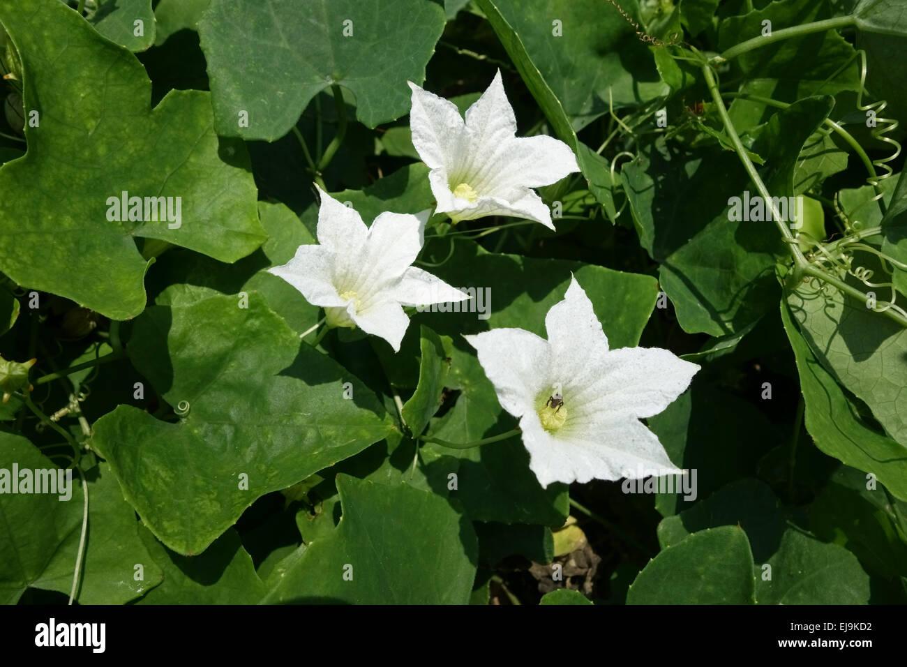 Ivy Gourd Coccinia Grandis White Flowers On Curcurbit