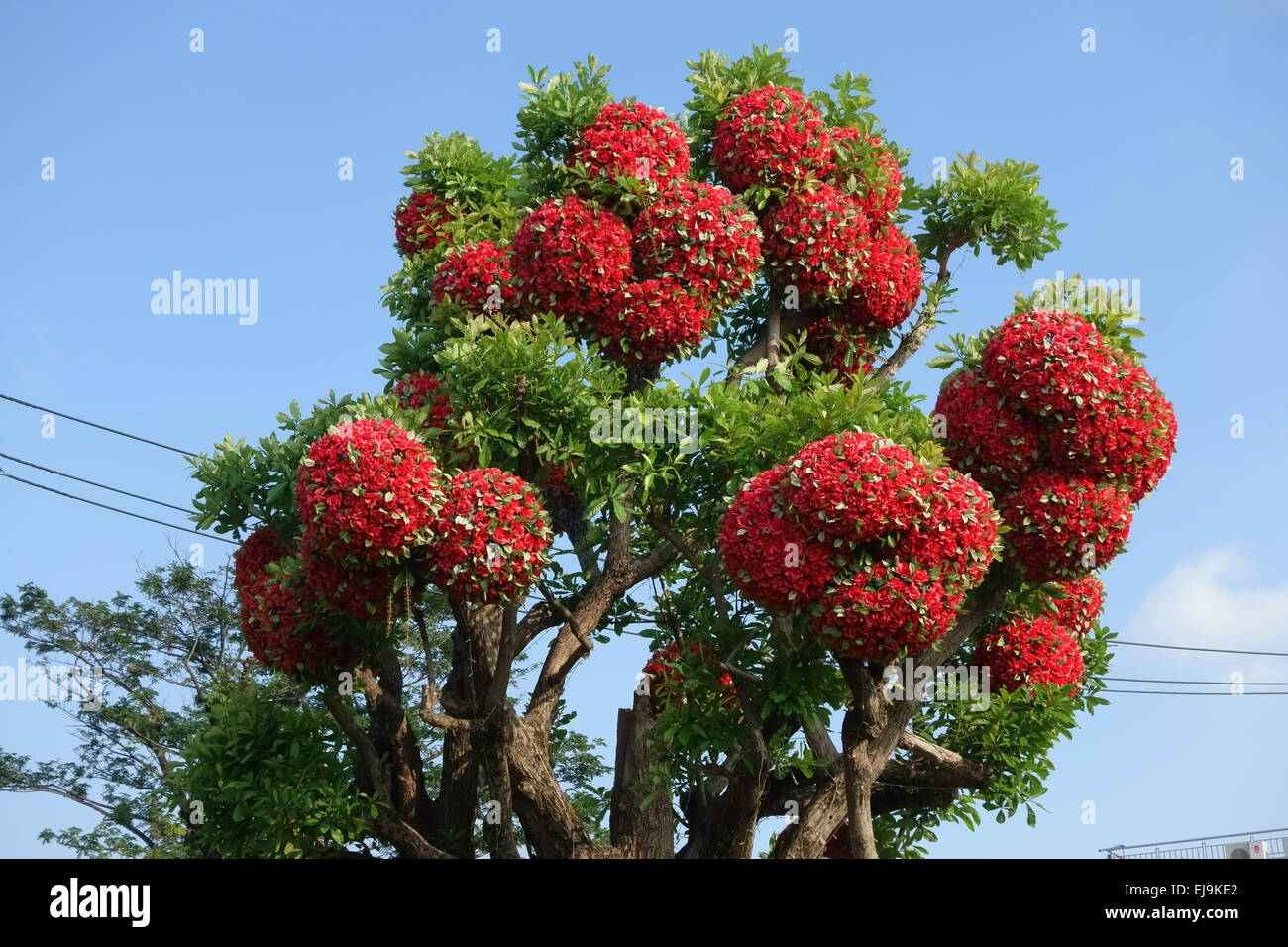 False red paper flowers decorating a real tree nonthaburi thailand false red paper flowers decorating a real tree nonthaburi thailand february mightylinksfo