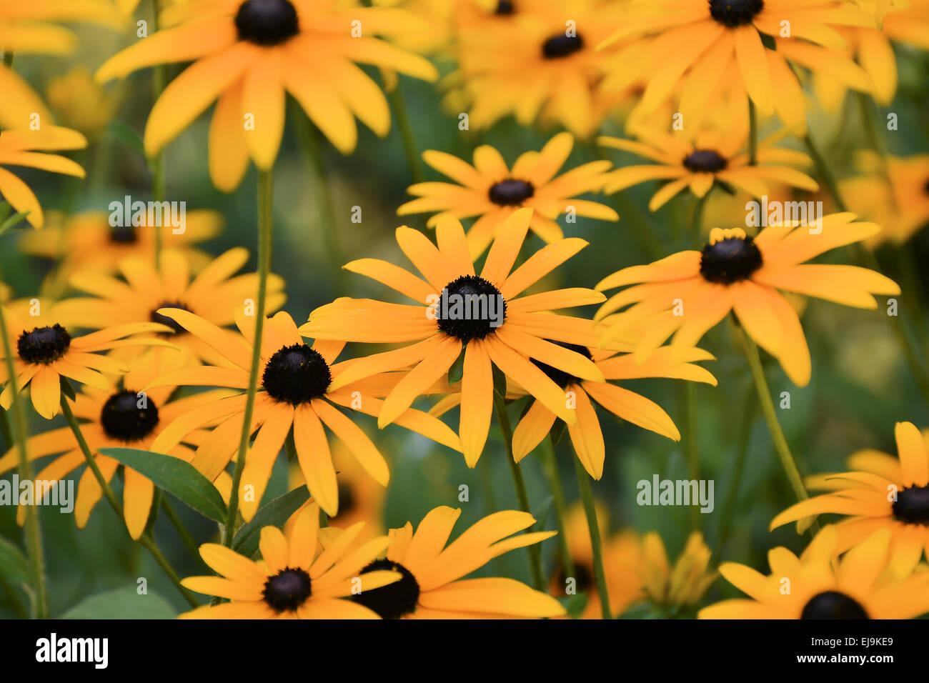 Summer flowers - Stock Image