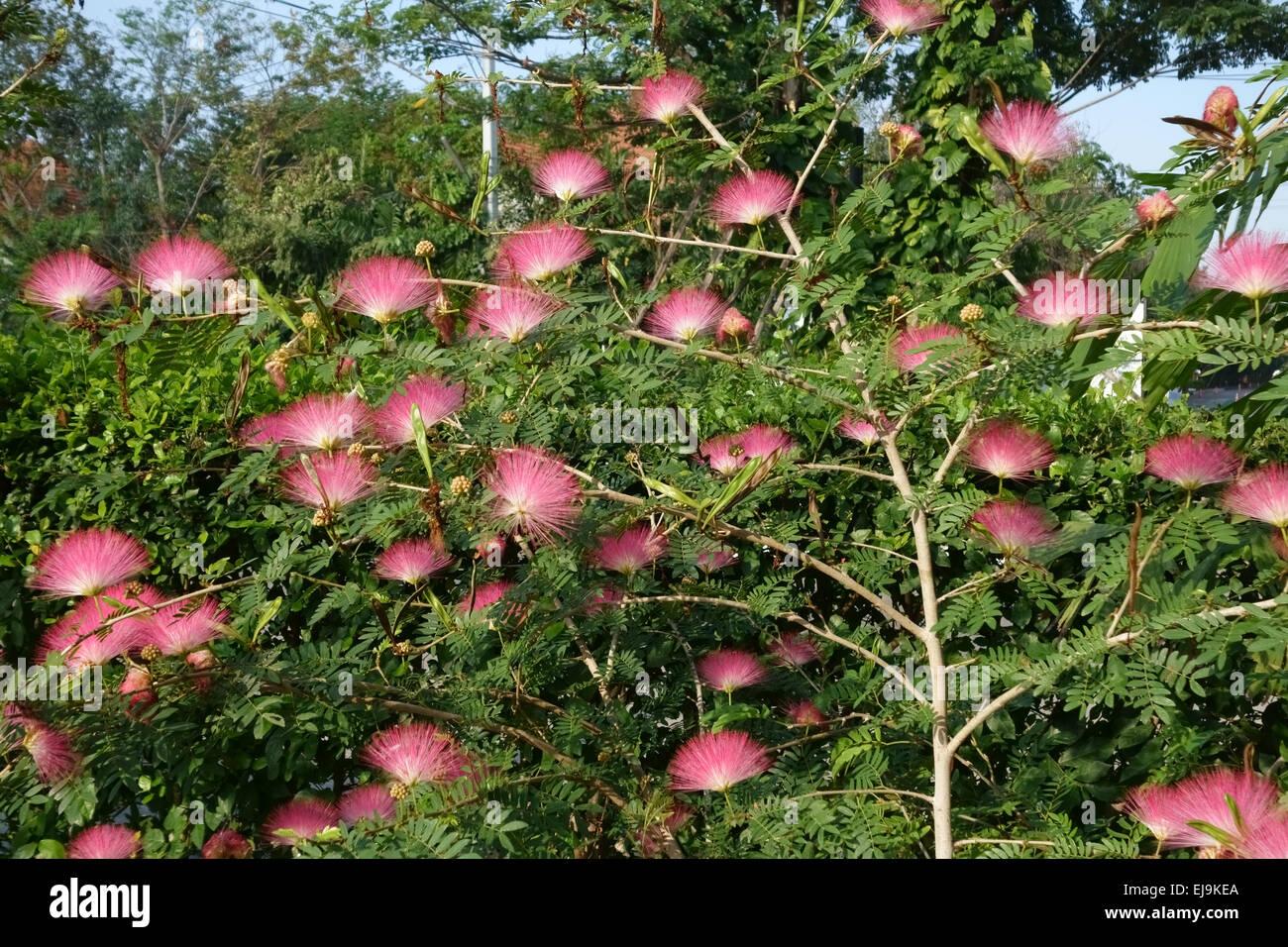 Pink silk tree persian silk tree or mimosa albizia julibrissin pink silk tree persian silk tree or mimosa albizia julibrissin flowers on a fast growing ornamental shrub nonthaburi thaila mightylinksfo
