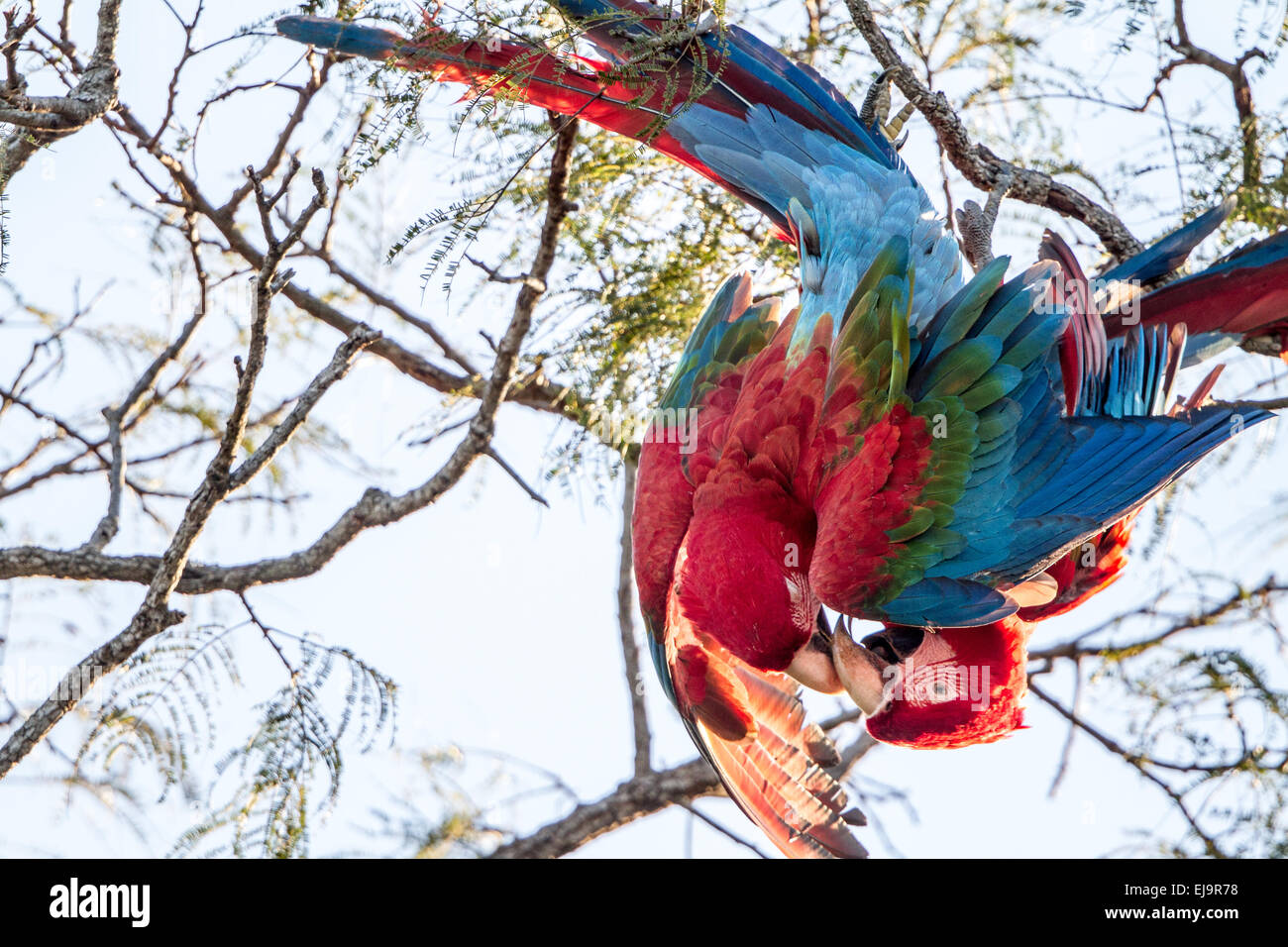 Mating red and green winged makaws - Stock Image
