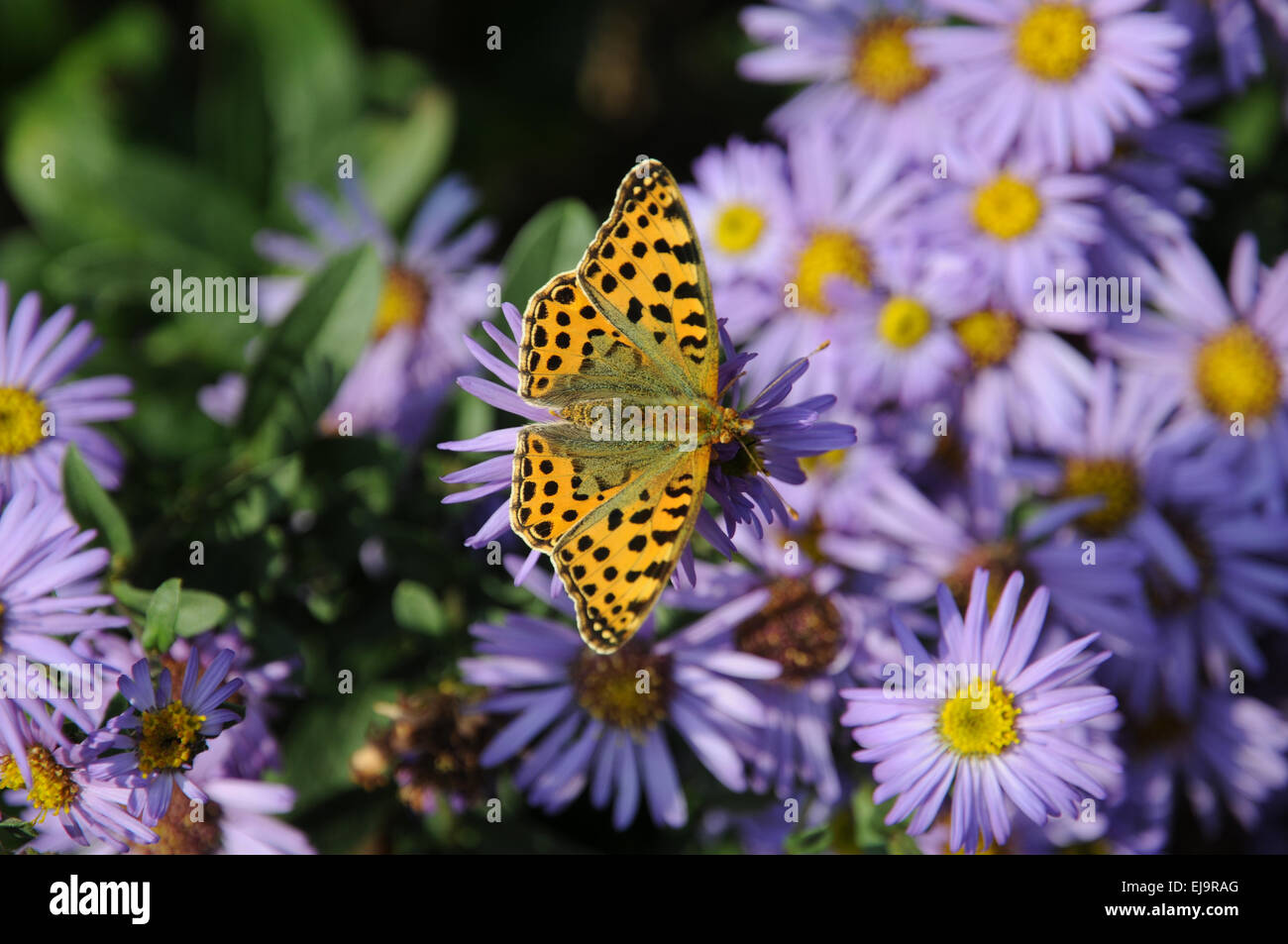 New York aster with silver washed fritillary Stock Photo