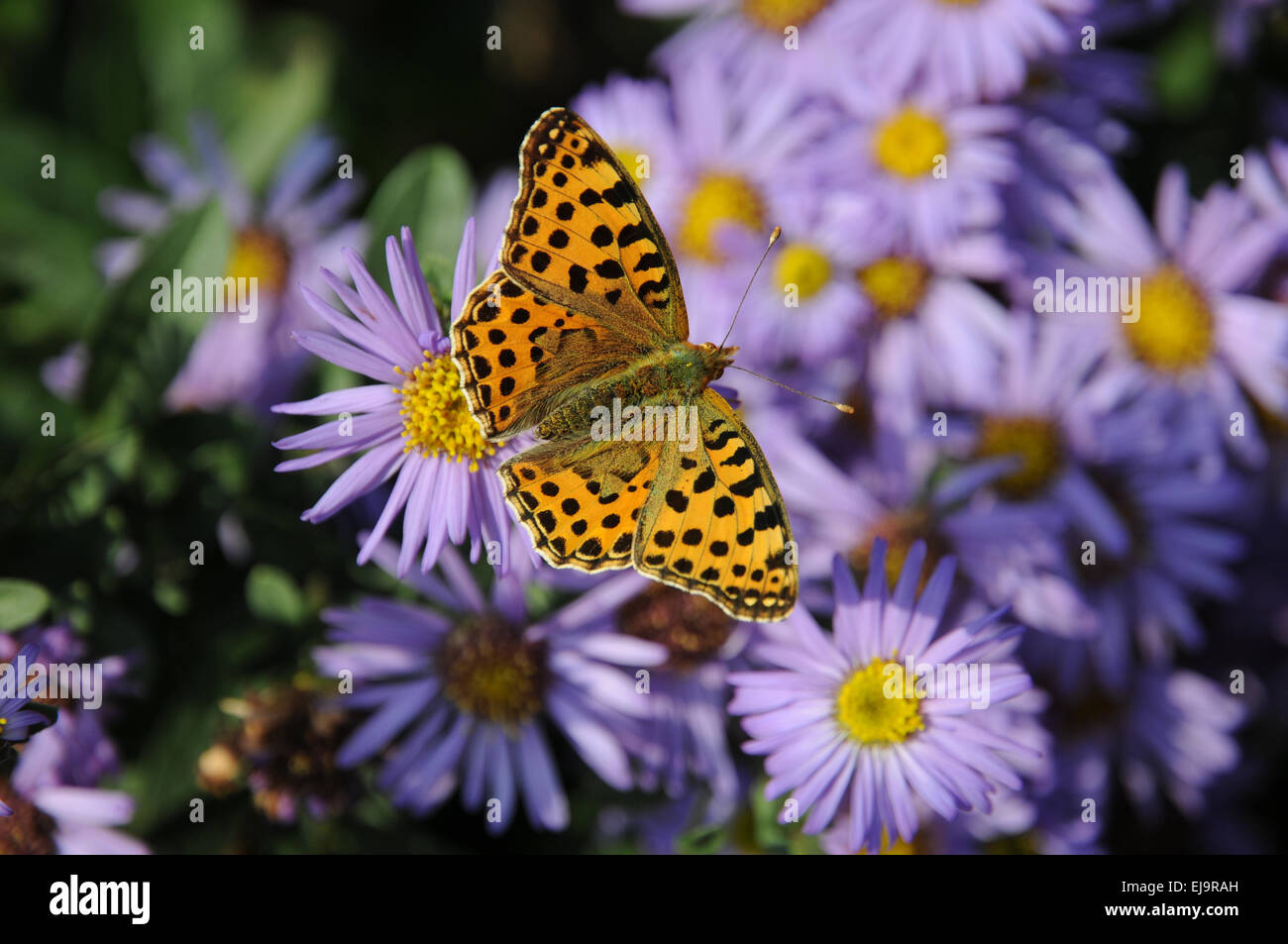 New York aster with silver washed fritillary - Stock Image
