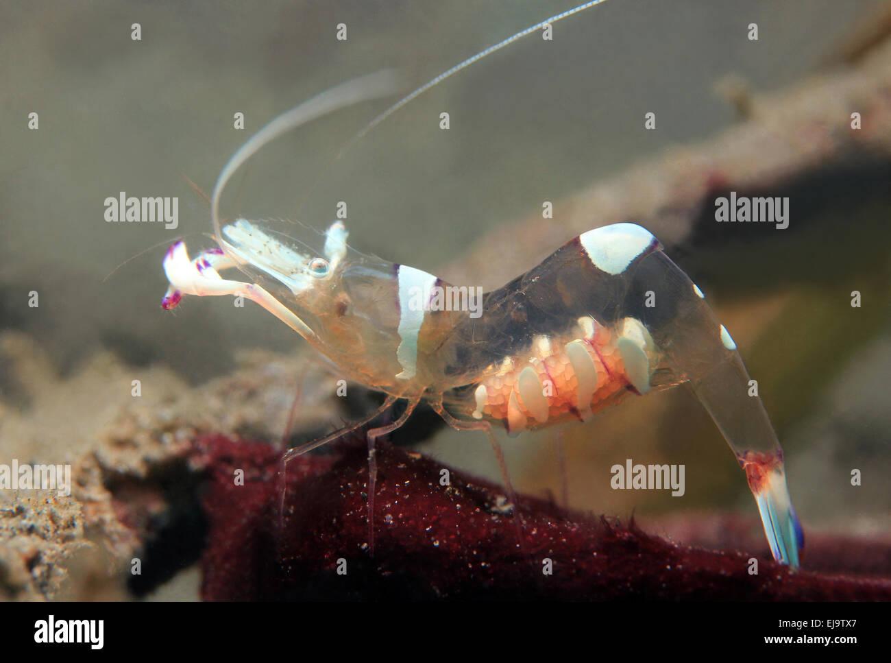 Magnificent Partner Shrimp Stock Photo