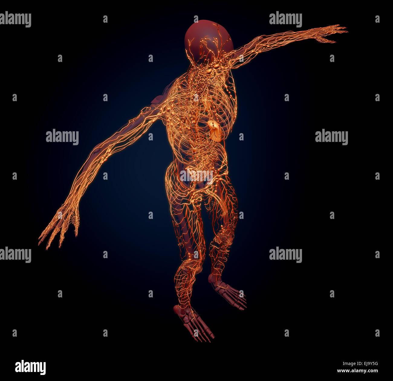Human lymphatic system - medical illustration - Stock Image