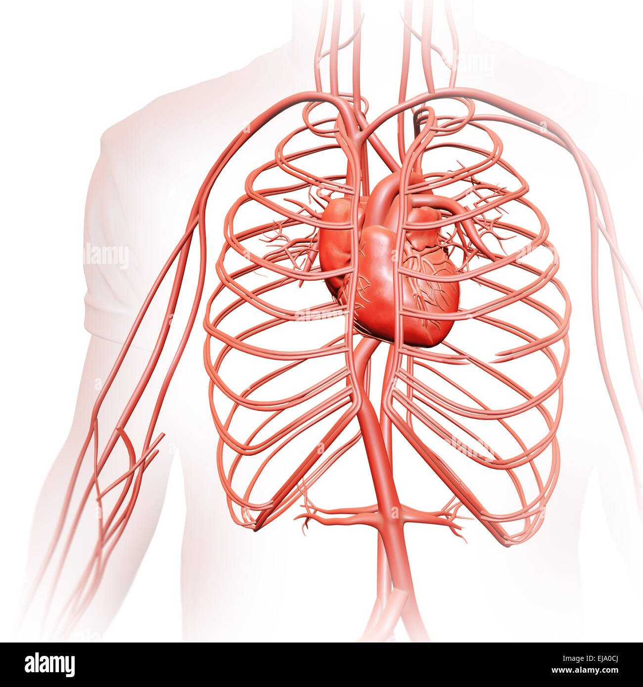 Human circulatory system - medical illustration - Stock Image