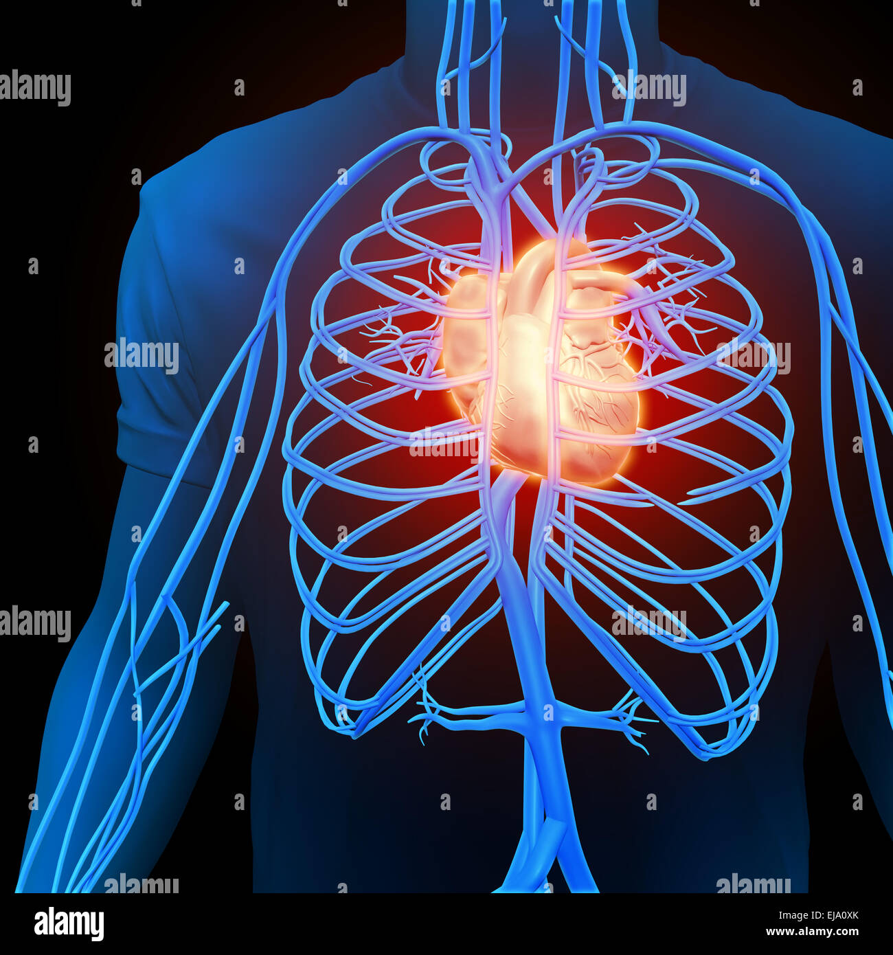 Human circulatory system - medical illustration Stock Photo