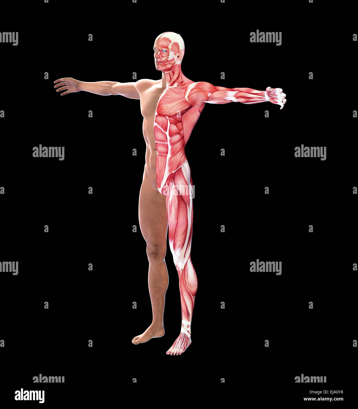 Human anatomy with visible  muscles - Stock Image