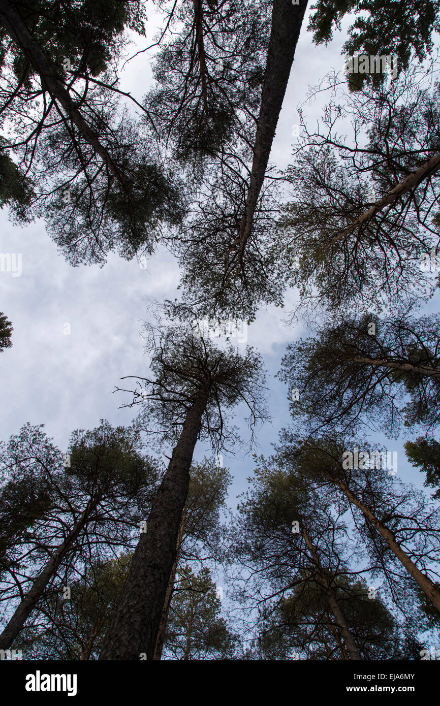Pine Trees Reaching for the Sky - Stock Image