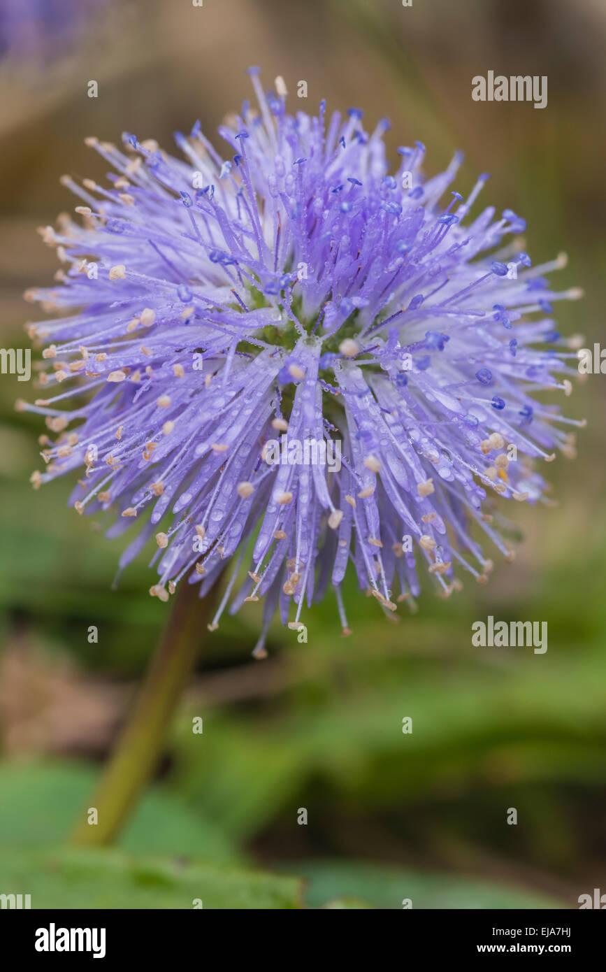 Alpine Flowers Devils Bit Scabious, Succia Pratensis Stock Photo