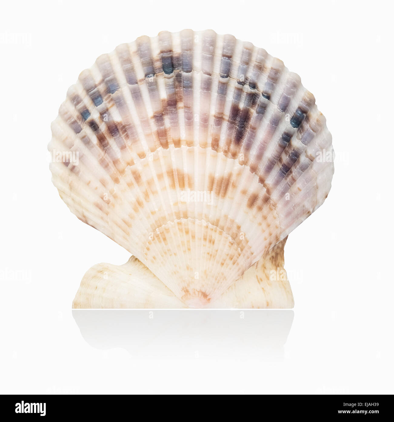 Scallop Shell Design Stock Photos Scallop Shell Design Stock