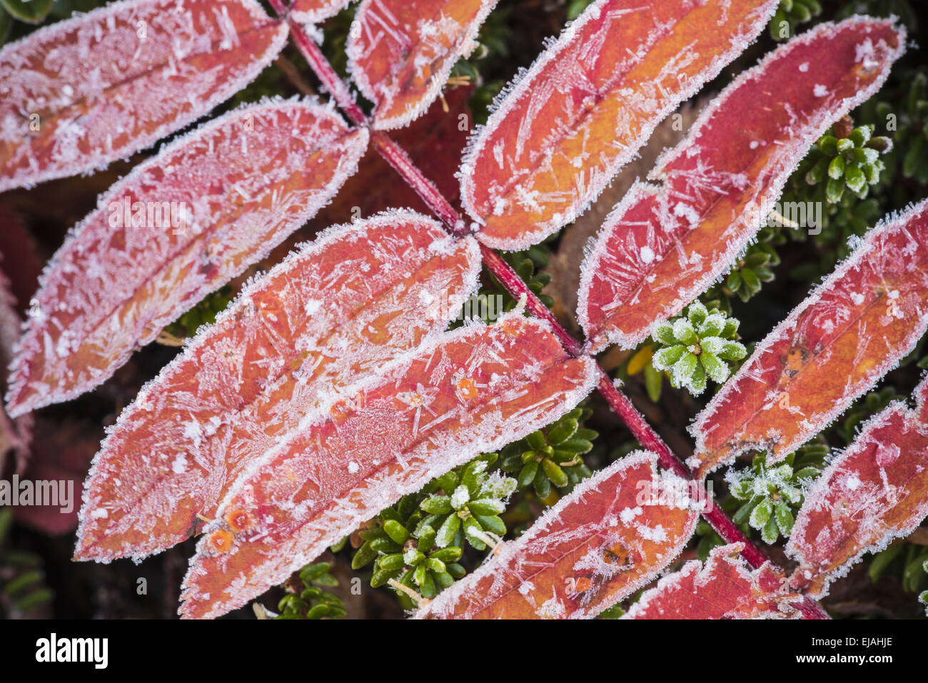 frost covered Rowan leaves, Lapland, Sweden Stock Photo