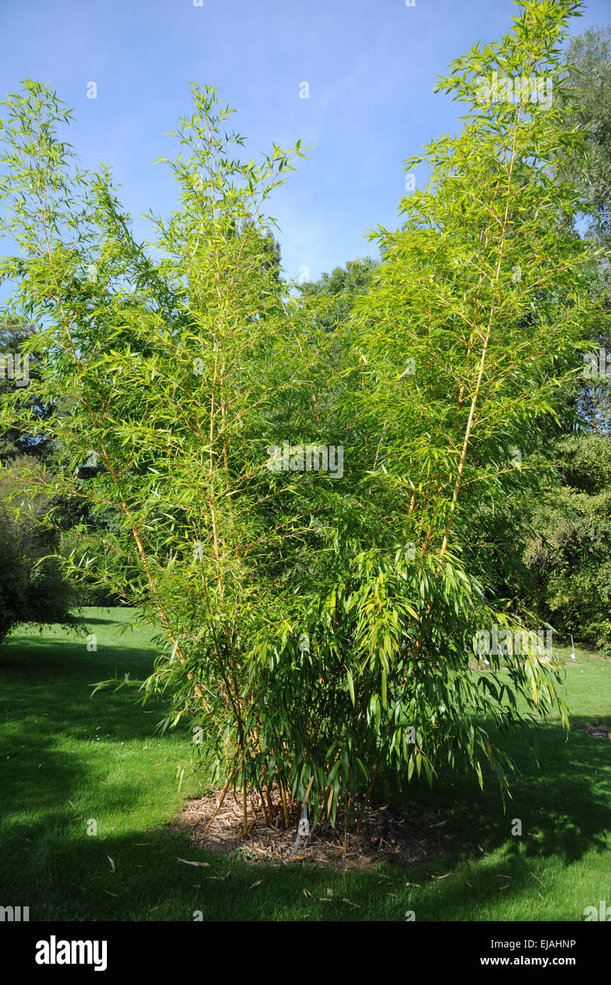 Golden chinese timer bamboo - Stock Image