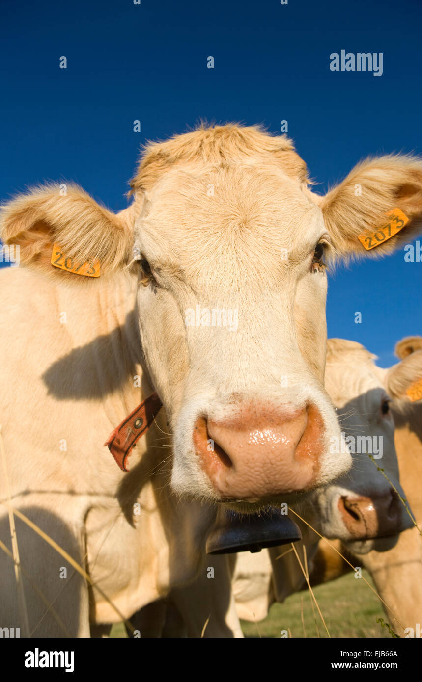 FACE OF COW IN PASTURE FAVEROLLES CANTAL AUVERGNE FRANCE Stock Photo