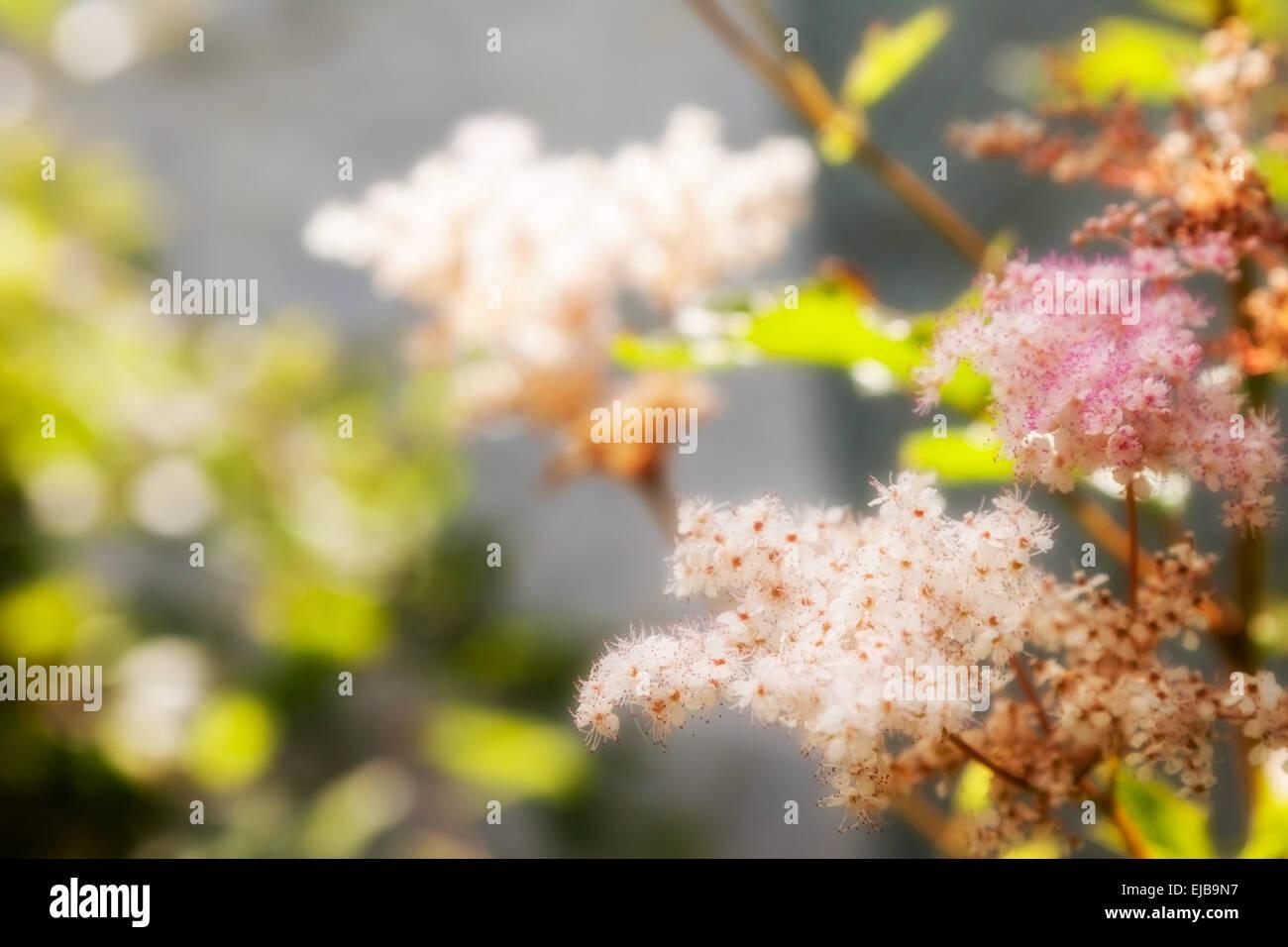 spring flower spirea. outdoor shot - Stock Image