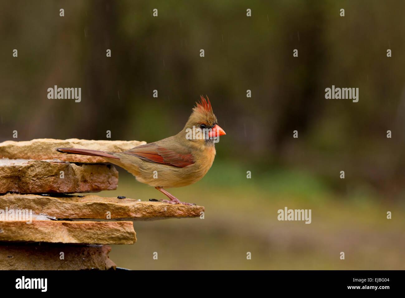 """""""Female Northern Cardinal"""" """"Cardinalis cardinalis"""" Stock Photo"""