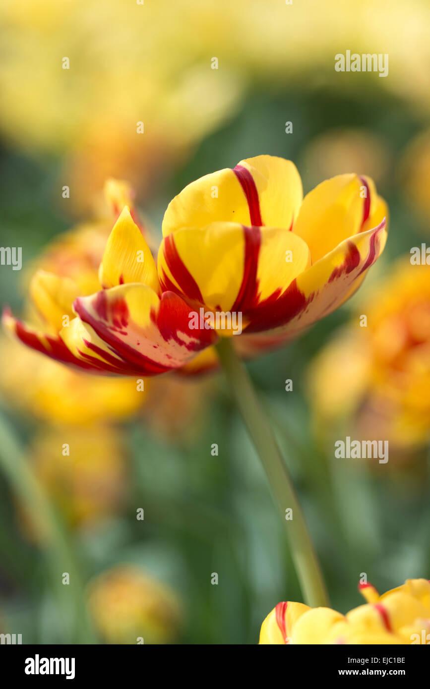 Tulip Golden Nizza - Stock Image