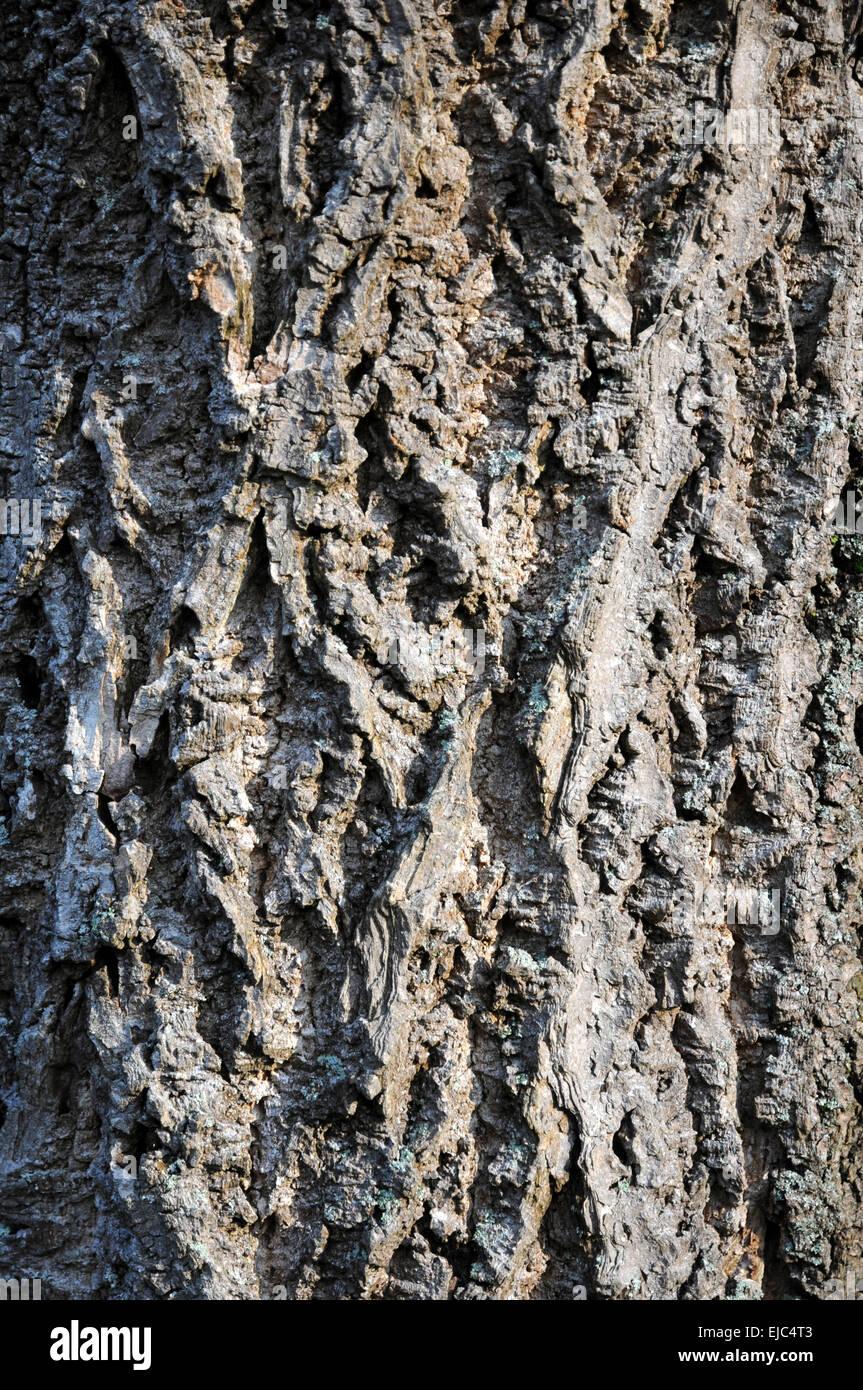 Amur cork tree - Stock Image