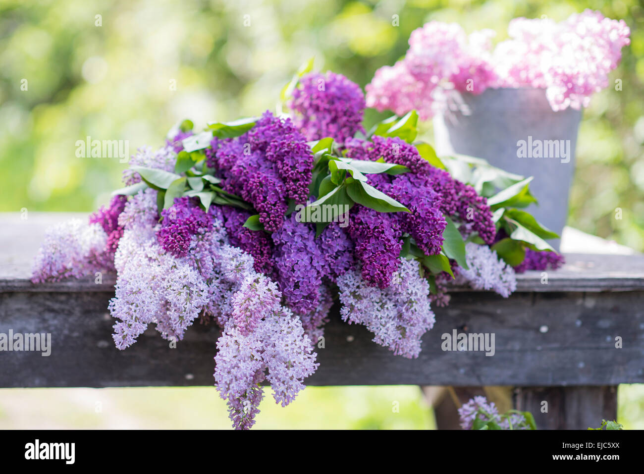 Cut stems of lilac blossoms (Syringa vulgaris) in spring Stock Photo